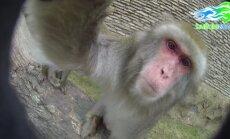 Video: Ņujorkas primātiņi spoguļojas kamerā