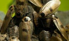 ASV sāk tirgot 'mugursomas' tarakānu vadīšanai
