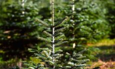 VID apturējis Ziemassvētku eglīšu tirgotāja 'Annels Egles' darbību
