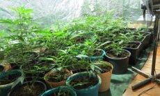 Salaspils novadā uziet marihuānas audzētavu