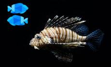 Kas tipiskai Zivij zem zvīņām? Zīmes pārstāvju raksturojums