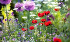 Kā kopt viengadīgās vasaras puķes