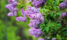 Ierobežošana un zaru izgriešana – ceriņu kopšana pēc ziedēšanas
