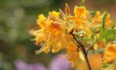 ФОТО: в Ботанических садах вовсю цветут рододендроны