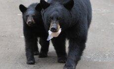 Kanādas ugunsgrēki: Pamestajā Fortmakmari pilsētā savvaļas melnie lāči meklē ēdienu