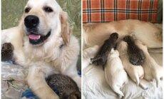 Suņu meitene Tesija Krievijā kļuvusi par mammu diviem leopardēniem