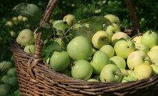Nenogatavojušos ābolu birums dārzā: ko ar tiem iesākt