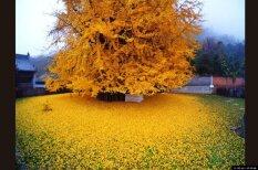 Последний привет осени: 1400-летнее дерево в очередной раз разлило океан желтых листьев