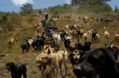 Citi medību lauki vairākiem simtiem pamestu suņu