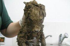 Спасатели нашли это непонятное существо в грязи и лишь отмыв узнали, что это…