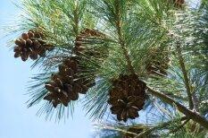 Latvijā biežāk sastopamo koku dziednieciskās īpašības