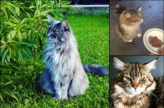Уже лев или еще кот? 19 отличных фото гигантских пушистых мейн-кунов