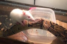 Neticams stāsts: čūska un viņas barība kļūst par labiem draugiem