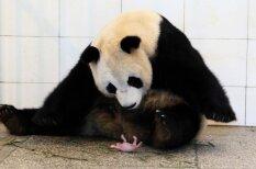 Редкие кадры: новорожденный детеныш большой панды