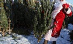 Svētki bez eglītes? Liepājā kociņu tirdzniecība nesokas