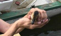 Foto: Ugunsdzēsēji izglābj no cilvēku ļaunprātības cietušu pīlēnu