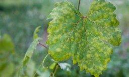 Biedrība: šoruden laikapstākļi Latvijas vīnogulājiem nav kaitējuši
