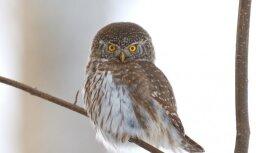 Rīgas zoodārzā notiks gadskārtējās Putnu dienas, uzmanības centrā – pūce