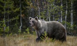В России полицейские застрелили медведя, который загрыз соседа и искусал хозяина