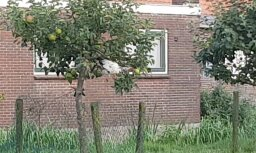 Video: 'Delfi' lasītājs Holandē pamana bezbailīgu vistu ābelē