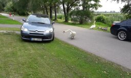 Gulbju sardze Vecdaugavā: tēviņš sargā ģimeni un nobloķē brauktuvi