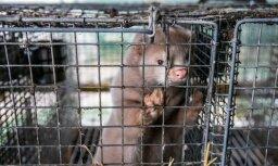'Dzīvnieku brīvība': Par ūdeļu izlaišanu no zvēraudzētavu būriem