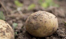 Kartupeļu stādīšanas darbi Latvijā stipri novēlojušies, secina asociācija