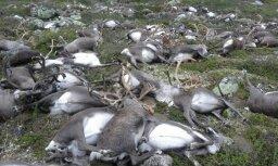 ВИДЕО: В Норвегии от удара молнии погибли свыше 300 оленей