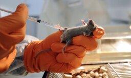 В голову мыши успешно вживили клетки человеческого мозга