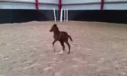 Video: Kā Tīraines staļļos zirgu mamma ar kumeliņu draiskojas
