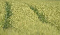 Sausie laikapstākļi veicinājuši kaitēkļu masveida savairošanos laukaugu sējumos