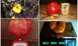 No 700 gramiem līdz kilogramam: lasītāji izaudzē brangus tomātus