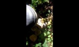 Video: 'Delfi' lasītāja spridzina pūpēžus