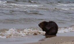 ФОТО, ВИДЕО: На берегу моря умывается бобр