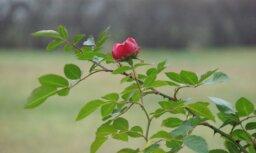 30.novembris – īstais laiks uzziedēt rozēm!