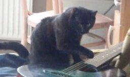 Video: Kaķis, kurš spēlē ģitāru