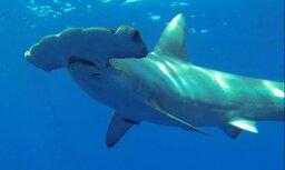 Акул около берегов Великобритании станет больше