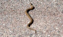Čūska sakož vīrieti, kurš vēlējies viņu nofotografēt