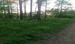 Video: Brangs alnis Rīgā cēli staigā pa mežu