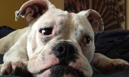instagram.com/lilouthebulldog