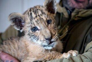 Foto: Krievijā dzimis ārkārtīgi retais līģeris – lauvas un tīģerienes atvase Cars