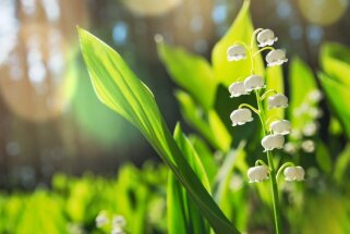 Balto ziedu zvani ar pasakainu aromātu – graciozās maijpuķītes