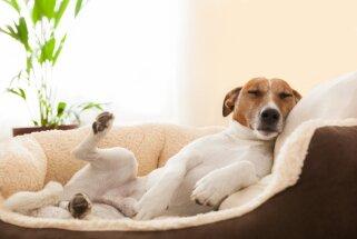 Kāpēc suņi pirms apgulšanās riņķo