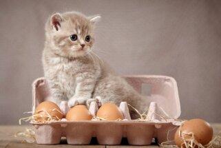 Kaķis daudz neapēdīs jeb Vai mājdzīvniekiem var dot olas