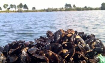 Ar gliemeņu audzēšanu cīnās pret Baltijas jūras piesārņojumu