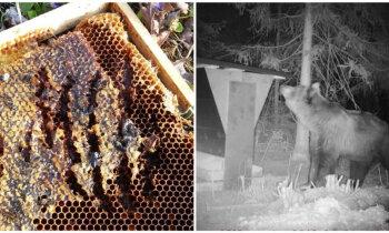 Головная боль пчеловодов: как латвийские медведи атакуют пасеки