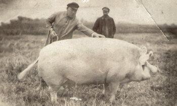 Zilā govs, bekona cūka un Latgales rikšotājs – kādas ir Latvijā radītās dzīvnieku šķirnes