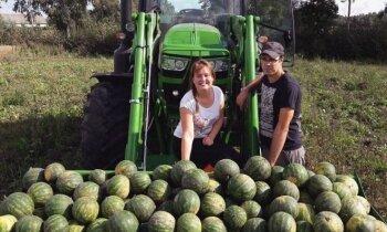 Foto: Ilūkstes novada saimniecībā izaudzētas vairākas tonnas arbūzu