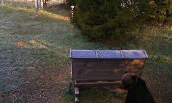 Lācim pa pēdām: pētnieki Latvijā iemūžina ķepaiņus