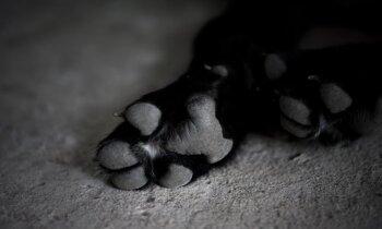 Rīgā uz netīrīta ceļa no rokām nāvējoši izkrīt suns: vai jāziņo policijai